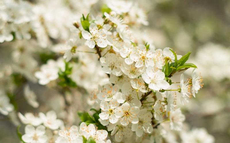 Nah - Montmorency cherry tree